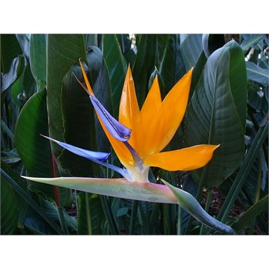 Strelitzia Regina, Bird of Paradise flower.