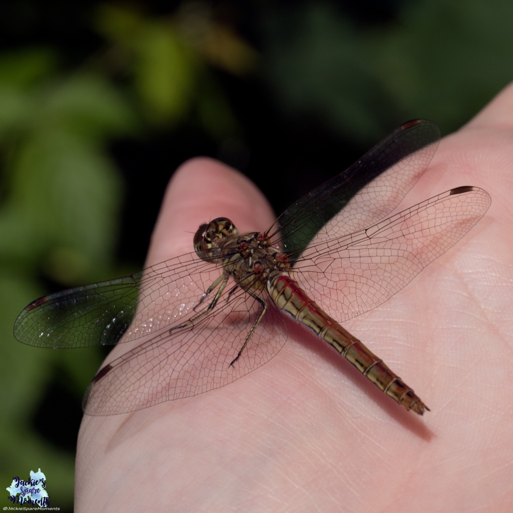 Dragonfly on my hand (detail)