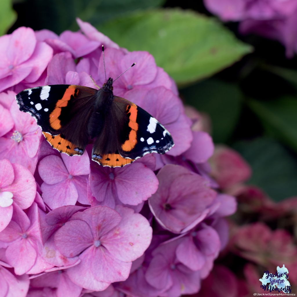 Butterfly on hydrangea bush. Atalanta or red admiral butterfly.