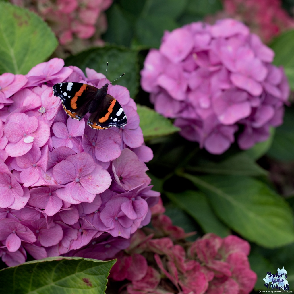 Red admiral butterfly on hydrangea bush