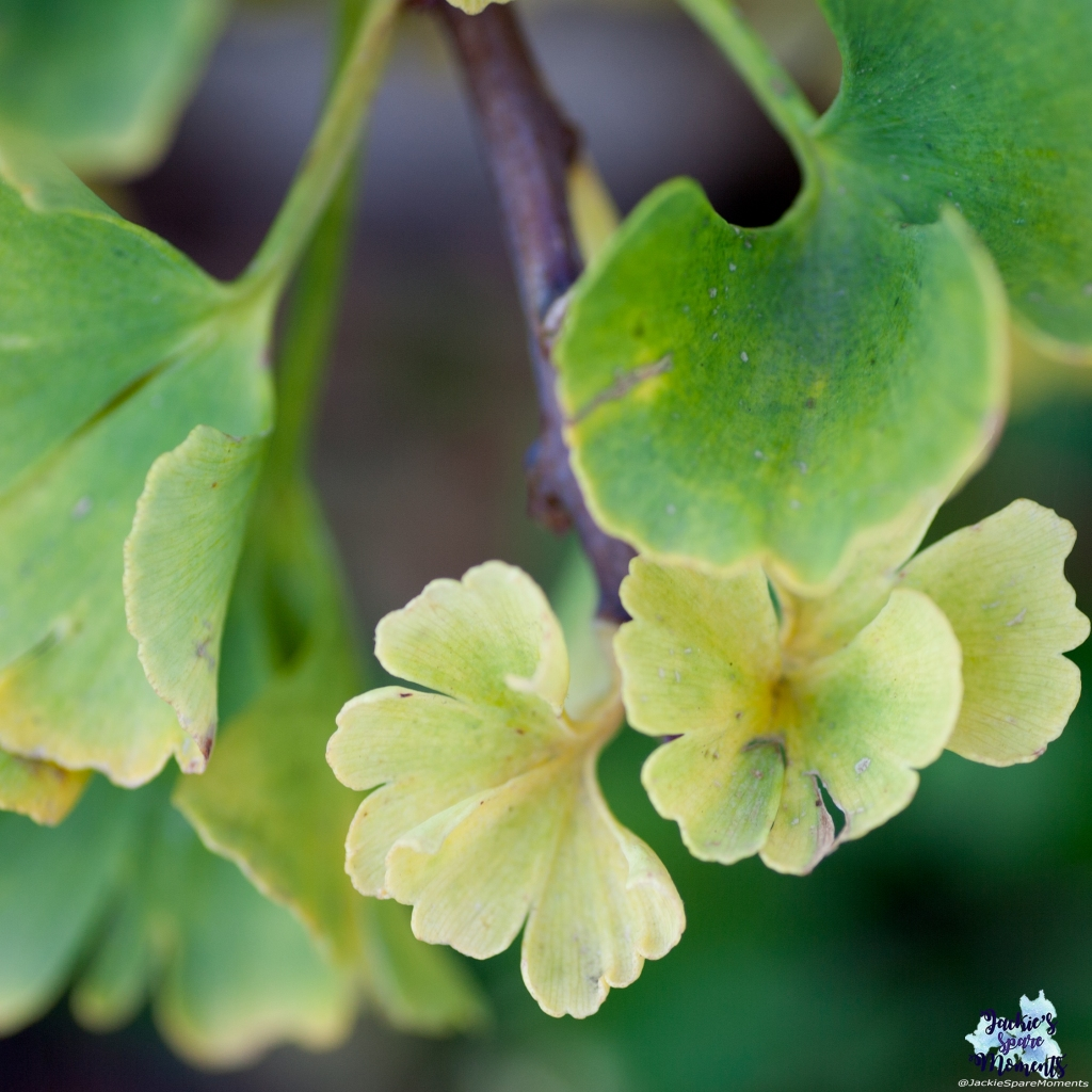 Our tiny Ginkgo biloba in fall